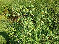 2014-08-27 15 49 26 Jewelweed at the boat launch at Wargo Pond in the Stony Brook-Millstone Watershed Association, New Jersey.JPG