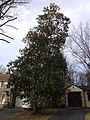 2014-12-30 13 02 48 Southern Magnolia along Lake Boulevard in Ewing, New Jersey.JPG