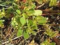 20140920Portulaca oleracea1.jpg