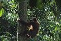 2014 Borneo Luyten-De-Hauwere-Bornean orangutan-10.jpg