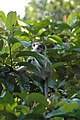 2014 Borneo Luyten-De-Hauwere-Crab eating Macaque-06.jpg