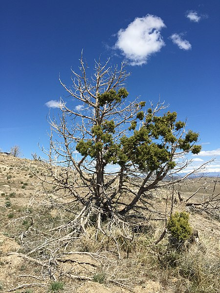 File:2015-04-26 13 10 30 Fire-damaged Utah Juniper at about 6620 feet at the junction of the southeast and southwest approach roads to Grindstone Mountain, Nevada.jpg