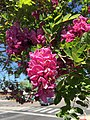 2015-04-29 14 47 30 Purple locust blossoms at the intersection of U.S. Route 50 and U.S. Route 95 in Fallon, Nevada.jpg