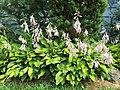 2016-07-13 09 21 34 Hosta blooming along Terrace Boulevard in Ewing, New Jersey.jpg