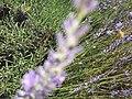 2017-07-02 Lavender 03.jpg