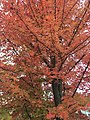 2017-11-09 15 06 08 Freeman's Maple foliage during late autumn along Kinross Circle near Kinbrace Road in the Chantilly Highlands section of Oak Hill, Fairfax County, Virginia.jpg