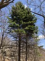 2018-04-28 12 58 20 Red Spruce along the Stony Man Trail in Madison County within Shenandoah National Park, Virginia.jpg