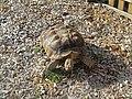 2018-10-20 Galápagos tortoise (Chelonoidis), Trimingham Trosh (2).JPG