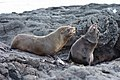 20180808-Galápagos fur seal-13 at Santiago (9798).jpg