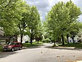 2019-04-26 12 46 25 Pin Oaks leafing out during mid-Spring along Thorngate Drive at Brass Harness Court in the Franklin Farm section of Oak Hill, Fairfax County, Virginia.jpg