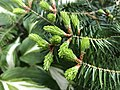 2019-04-30 16 13 06 New spring needles on a Balsam Fir along Tranquility Court in the Franklin Farm section of Oak Hill, Fairfax County, Virginia.jpg