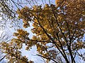 2019-11-26 11 50 09 View up into the canopy of a Sawtooth Oak during late autumn along a walking path in the Franklin Farm section of Oak Hill, Fairfax County, Virginia.jpg