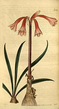 2471 Cyrtanthus ventricosus (as Cyrtanthus pallidus)