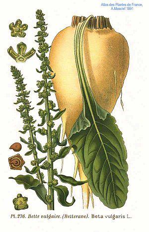 Sugar beet - Sugar beet, illustration of root, leaf, and flowering patterns