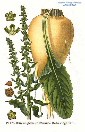 Sugar beet - Sugar beet, illustration of root, leaf, and flowering patterns