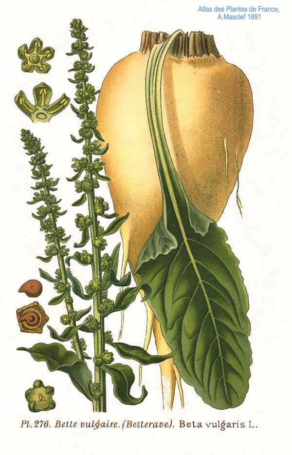 276 Beta vulgaris L