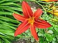 2820 - Innsbruck - Hofgarten - Flower and Syrphidae.JPG