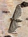 70.177 BF1828 Satyr Pug, Eupithecia satyrata, female. (8751442442).jpg