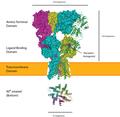 AMPA receptor.png