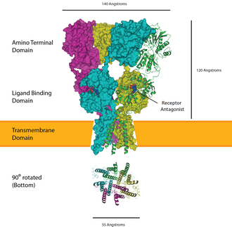Ligand-gated ion channel - The AMPA receptor bound to a glutamate antagonist showing the amino terminal, ligand binding, and transmembrane domain, PDB 3KG2