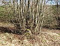 A Coppiced Stump - geograph.org.uk - 1202252.jpg
