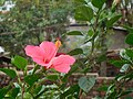 A Pink Hibiscus.jpg