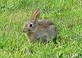 A Wild Rabbit at Lossiemouth - geograph.org.uk - 1441920.jpg