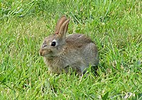 A Wild Rabbit at Lossiemouth - geograph.org.uk - 1441920.jpg