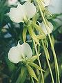 A and B Larsen orchids - Angraecum eburneum longicalcar 829-17x.jpg