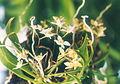 A and B Larsen orchids - Thrixspermum saruwatarii 550-16.jpg