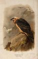 A bearded vulture (Gypaetus barbatus). Chromolithograph by W Wellcome V0022224.jpg