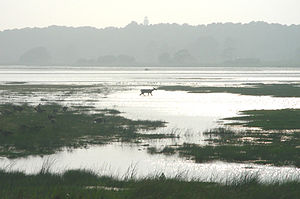 Chincoteague, Virginia - A deer walks along the Snow Goose Pool in the Assateague Island National Seashore, 2006-07-27