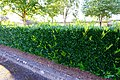 A hedge becoming overgrown, July 2020.jpg