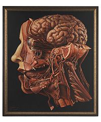 "A human head dissected; ""In memoriam"". Wellcome L0074865.jpg"