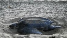 Datei:A leatherback turtle covering her eggs, Turtle Beach, Tobago deshaked.ogv