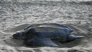 File:A leatherback turtle covering her eggs, Turtle Beach, Tobago deshaked.ogv