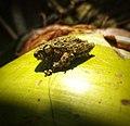 A meditation - Pseudophilautus hallidayi (Halliday's Shrub Frog).jpg