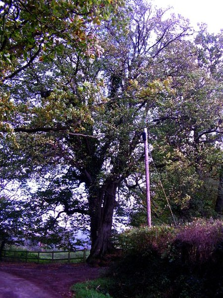 File:A rare tree - geograph.org.uk - 1022865.jpg