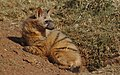 Aardwolf, Proteles cristata, at Lion and Rhino Reserve, Gauteng, South Africa (47987217797).jpg
