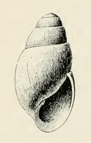 Aartsenia - Aartsenia arctica shell