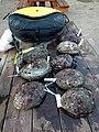 Abalone Catch.jpg