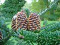 Abies fraseri (Fraser fir) - cones - Flickr - S. Rae.jpg