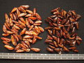 Abies seeds left Abies magnifica right Abies nordmanniana.JPG