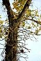 Abricó-de-macaco árvore.jpg