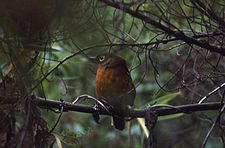 Abyssinian Ground-thrush (Zoothera piaggiae) perched.jpg