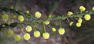 Acacia paradoxa - Acacia paradoxa foliage, stipules and flowers