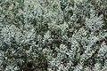 Acacia podalyriifolia (Hanbury Gardens).jpg