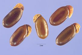 Acacia pycnantha seeds.jpg