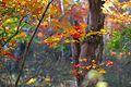 Acer palmatum - Flickr - odako1 (6).jpg