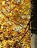 Acer platanoides (1).jpg